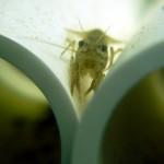 Marbled Crayfish Original Website Since 2007. True Clones!